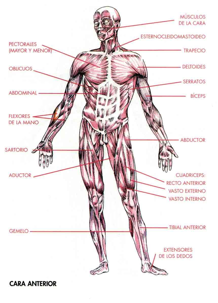 Huesos y Músculos | Héctor Ballesteros López